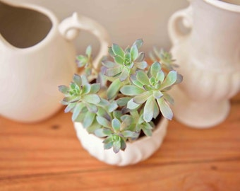 Pastel Green Succulent Cactus White Pottery Rustic Chic Botanical Art