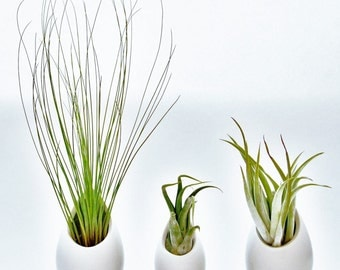 Hanging Air Plant Container - 2 Large + 1 Mini Ceramic Vases with Air Plants - Fast FREE Shipping - 30 Day Guarantee - Air Plant Holder