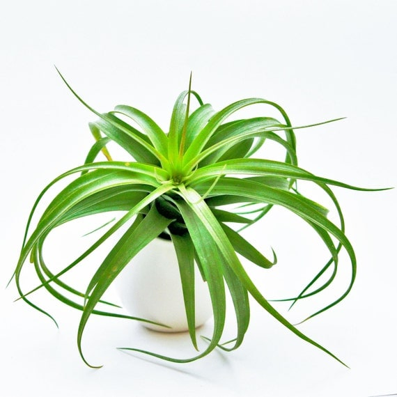 12 air plants wholesale with container by airplantdesigncenter for Cheap air plants