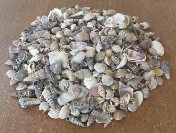 Tiny shells extra tiny shells beach decor seashells for Tiny shells for crafts