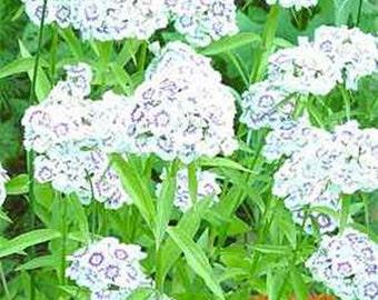 Dianthus- Albus-white, -100 seeds
