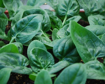 15 Organic Seattle Spinach Seeds, Perfect for Salads and Smoothies, Micro Greens