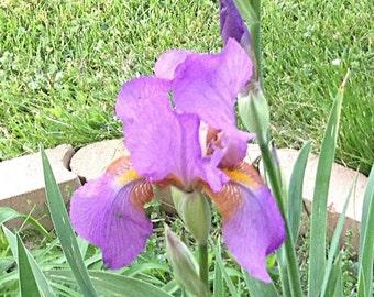 "Historic Heritage Tall Bearded Iris ""ROSEMOHR"" (1948) Rhizome * Pre-Sale * Perennial Plant Bulb"