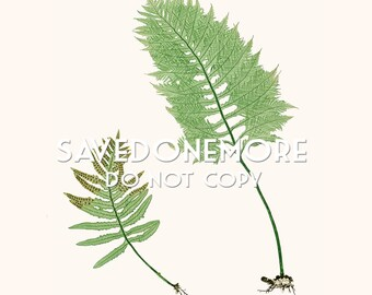 Vintage Botanical Fern Print Instant Download Make Your Own Art {Fern 3}