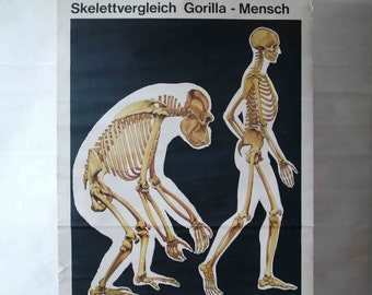 Vintage School Wall Pull Down Chart Map of Evolutionary Theory/Common Descent (Homo Sapiens and Gorilla Gorilla) - Skeleton, Anthropology