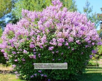 Lilac Essential Fragrance Oil