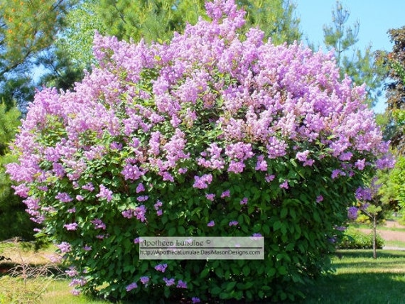 how to make lilac essential oil