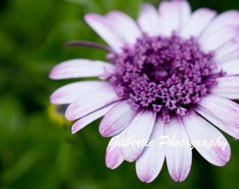 Purple Flower Photo - Macro Photography - Floral Print - Rustic Decor - Gallery Wrap Canvas