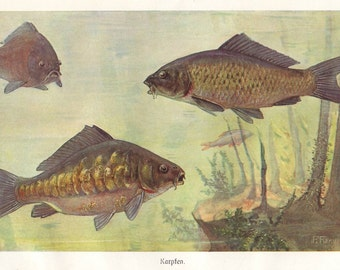 Common carp original 1922 fish print - Natural history, wall decor, art - 93 years old German antique lithograph illustration (A766)