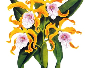 Flower Print - Orchids - Laelia grandis - 1979 Vintage Book Page - Large Print For Framing - 15 x 12