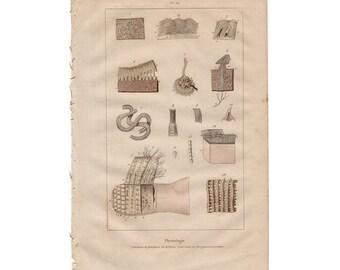 1835 SKIN physiology original antique medical anatomy print