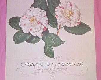 Vintage Botanical Art Print Tricolor Siebold Camellia Flower Portrait Dmitri Vail 1952 17 X 22