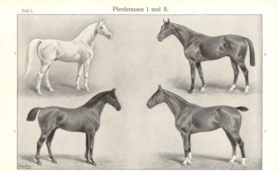1905 Horse Breeds, Arabian Horse, Thoroughbred, Trakehner, Field Hunter Vintage Print