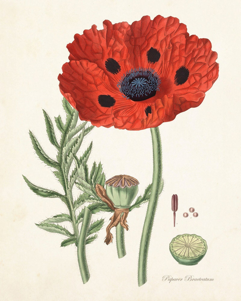 Red Poppy No.6 Botanical Print Giclee Art Print Antique