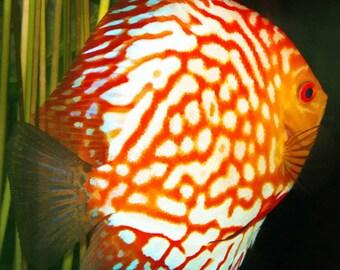 Discus Fish, Orange and White Fish, Fish Painting, Fish Print