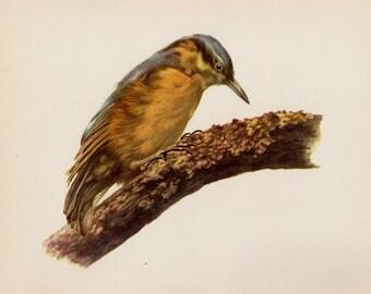 Vintage Nuthatch Bird Print Library Decor Bird Gallery Wall Art Home Office Decor Vintage Animal Print Gift for Bird Lover #2774