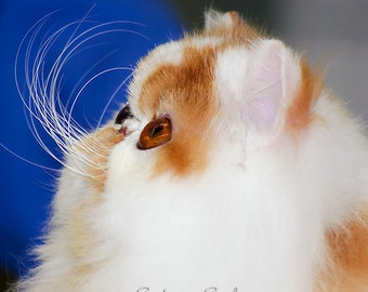 Persian Cat Art Animal Photography Cute Orange & White Kitty Picture Cat Lover Gift Fine Art Photo Print Whiskerlicious