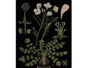 Botanical Print, Botanical Art Educational Chart, Botanical Art Print, Lady's Smock/Cuckoo Flower Print, Floral Wall Art, Wall Hanging