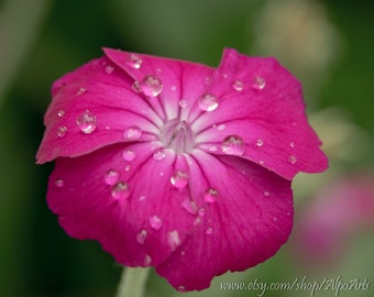 Pink flower, Nature photograph, 5x7, 8x10, or 12x18, flower photo with rain drops, Mother's day gift, Home decor, wall art, photo mats, art