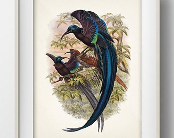 Black Sicklebill Bird of Paradise (Epimachus fastuosus) - 8x10 - Fine art print of a vintage natural history antique illustration