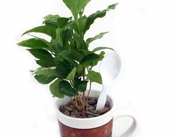 Cup of Coffee / Coffee Plant - Flared Rim Ceramic Coffee Cup/Spoon/Live Coffee Tree