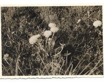 Dandelions in the grass. #98