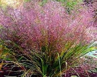Purple Love Grass Seeds, Eragrostis spectabilis, Perennial, Ornamental Grass, Suitable for Xeriscaping