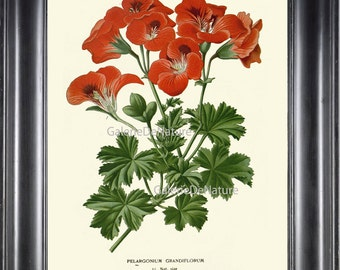 BOTANICAL PRINT Flower Art S37 4x6 5x7 8x10 11x14 Beautiful Antique Red Large Geranium Garden Nature Picture Plant Home Wall Decor to Frame