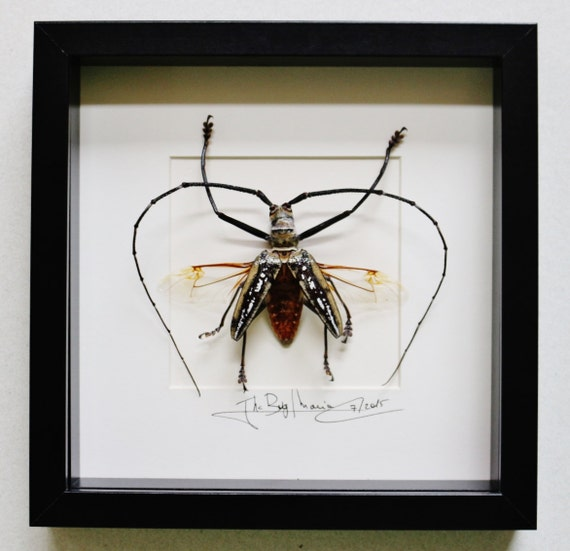Artframe with real insects : Topquality display with huge batocera wallacei SPREAD   , longhornbeetle