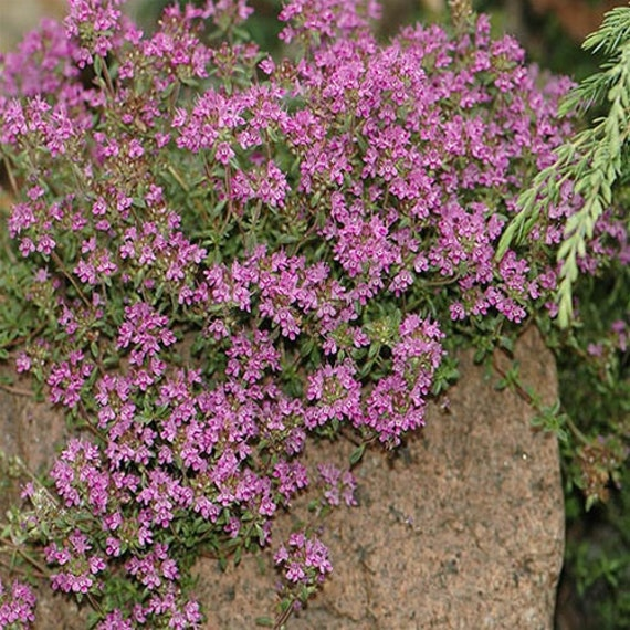 30 Creeping Thyme Ground cover Thymus by HopeSpringsNursery