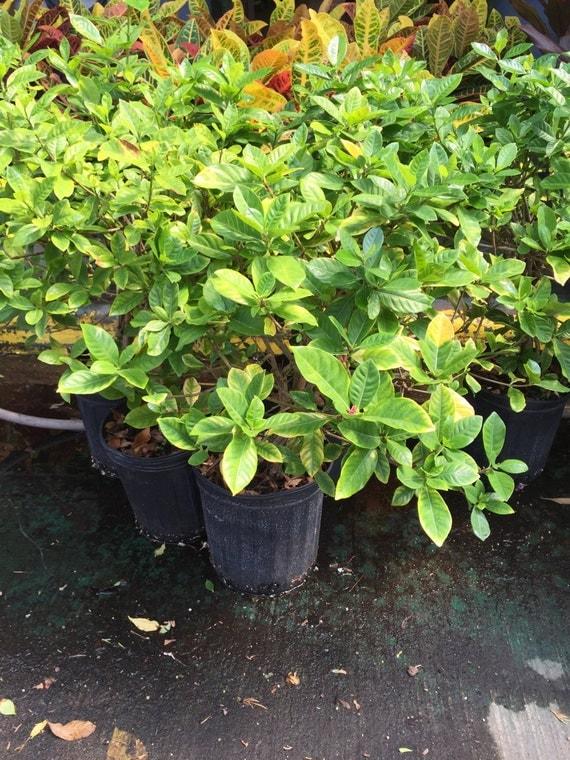 plante tropicale odorante