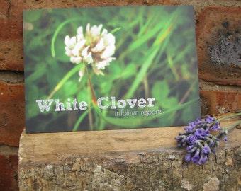 White Clover Scientific Name British Wildflower Postcard