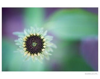 Nature Photography PRINT, Coneflower Bud - 1, Wall Art
