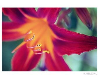Nature Photography PRINT, Red Daylily - 2, Wall Art