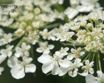Queen Anne's Lace Macro Photography