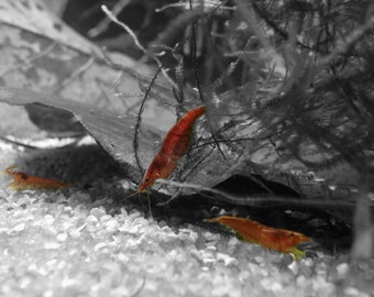 Red Cherry Shrimp Photo