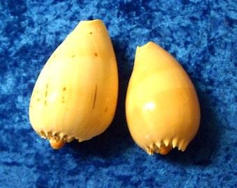 MELON SHELLS. 2 Large Melon Shells.