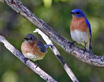 Eastern Bluebird Pair - Notecard using a fine art photo