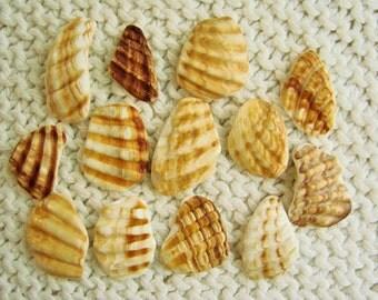 13 Pendant Size Scallop Shell Wing Fragments (SH84) Mediterranean sea shell shards, Ridged Seashells, Mosaic shells