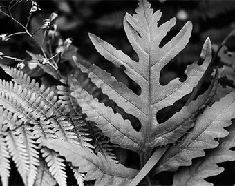 Rustic Wall Decor / Fine Art Photography / Nature Photography / Fern Photograph / Photo of Leaves / Rustic Home Decor / Black / White / Grey