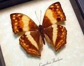 Cymothoe Theobene Male African Safari Angular Glider Butterfly 8329