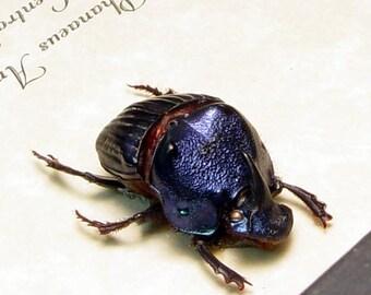 Phanaeus Amethystinus Juvenile Male Real Framed Scarab Dung Beetle 8328J