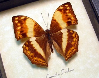 Cymothoe Theobene Male African Safari Angular Glider Butterfly 8329