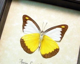 Appias Lyncida Vasava Verso Chocolate Albatross Yellow and White Real Framed Butterfly 8365