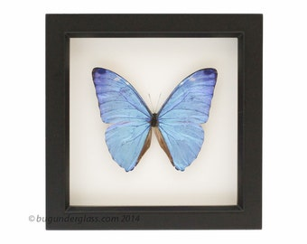Real Blue Morpho Adonis Framed Butterfly Display