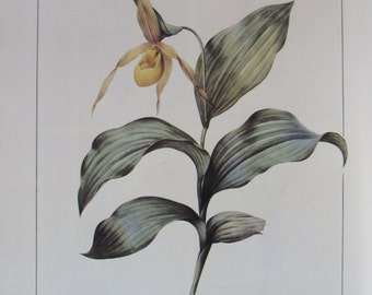 Botany Print-Redoute-American Lady Slipper, Unframed Flower Print, Nature Print, Color Plate, 8.75 x 12.25 in, 1986
