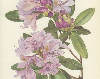 Catawba Pink Rhododendron, Vintage Flower Print, Botanical Plant 93, Country Cottage Decor, 1970 Cottage Chic, Cottage Wall Decor