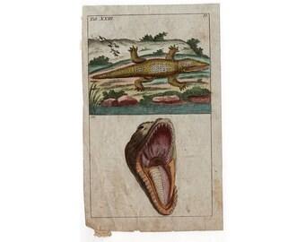 1809 ALLIGATOR CROCODILE original antique engraving rare and unusual amphibian