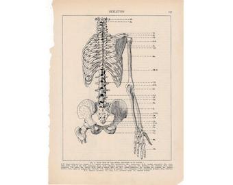 1933 HUMAN SKELETON original vintage anatomy bones lithograph body print rear view