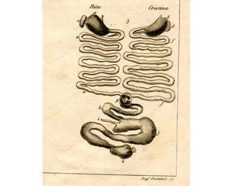 1835 SIAMESE TWIN ANATOMY rare original antique engraving medical print - digestive system